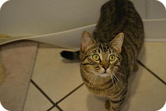 Domestic Shorthair Kitten for adoption in Broadway, New Jersey - Emerald