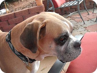 Boxer Dog for adoption in Hudson, New Hampshire - Rocco