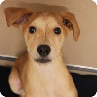 Catahoula Leopard Dog/Hound (Unknown Type) Mix Puppy for adoption in Naperville, Illinois - Jack