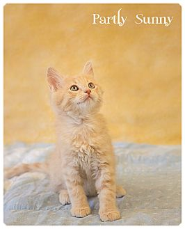 Domestic Longhair Kitten for adoption in Washburn, Wisconsin - Partly Sunny