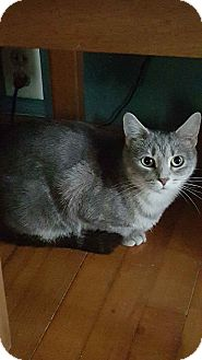 Domestic Shorthair Cat for adoption in Dewitt, Michigan - Josie