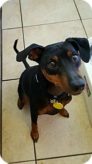 Miniature Pinscher Mix Dog for adoption in Palm City, Florida - Scooby