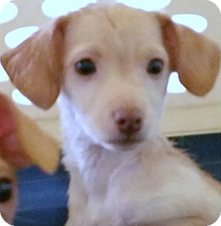 Italian Greyhound/Chihuahua Mix Puppy for adoption in Phoenix, Arizona - Flounder