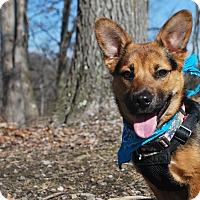 Adopt A Pet :: Mya - New Castle, PA