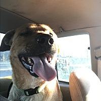 Labrador Retriever Mix Dog for adoption in Denver City, Texas - Captain