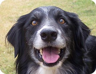 Border Collie Mix Dog for adoption in Guthrie, Oklahoma - Thomas