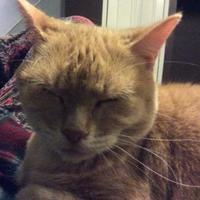 Domestic Shorthair/Domestic Shorthair Mix Cat for adoption in Guelph, Ontario - Zamboni (aka Puss)