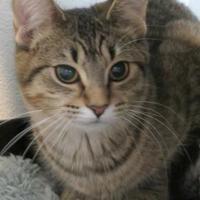 Adopt A Pet :: Chocolate Chip - Menomonie, WI