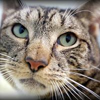 Adopt A Pet :: Tigger Boo - Montclair, NJ