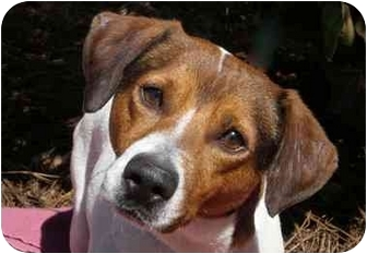 Jack Russell Terrier Mix Dog for adoption in Mobile, Alabama - Marco