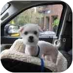 Maltese Mix Dog for adoption in Long Beach, New York - Reilly