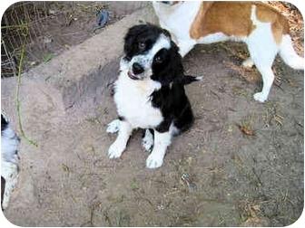 "Border Collie/Australian Shepherd Mix Puppy for adoption in Winnsboro, South Carolina - Olivia ""NewtonJohn"""