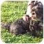 Photo 3 - Shih Tzu Dog for adoption in Freeport, New York - Jason