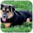 Photo 2 - Australian Shepherd/German Shepherd Dog Mix Puppy for adoption in Sacramento, California - Thor fun, active, happy