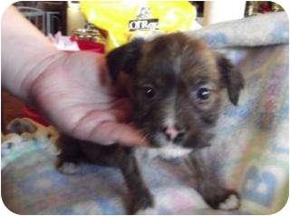 Boxer/Doberman Pinscher Mix Puppy for adoption in Edon, Ohio - Tawnee