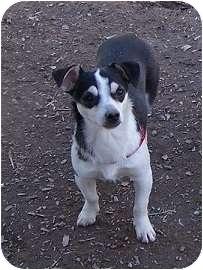 Rat Terrier Mix Dog for adoption in Concord, North Carolina - Savannah
