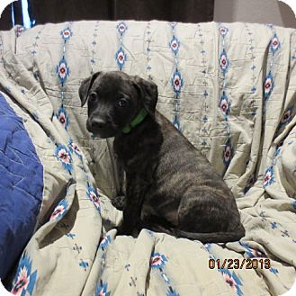 Retriever (Unknown Type)/Catahoula Leopard Dog Mix Puppy for adoption in Westminster, Colorado - Cherry
