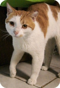 Domestic Shorthair Cat for adoption in Medford, Massachusetts - Larson