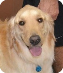 Golden Retriever Dog for adoption in New Canaan, Connecticut - Ellie