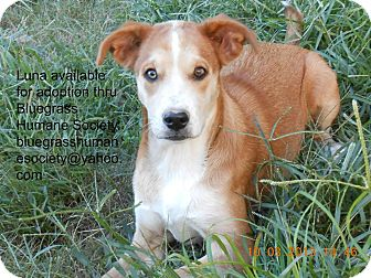Husky Mix Dog for adoption in Hartford, Kentucky - Luna