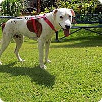 Adopt A Pet :: Angel - Honolulu, HI