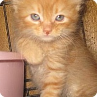 Adopt A Pet :: Gingersnap - Dallas, TX