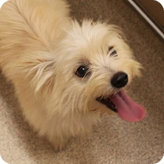 Maltese/Yorkie, Yorkshire Terrier Mix Dog for adoption in Naperville, Illinois - Snowball