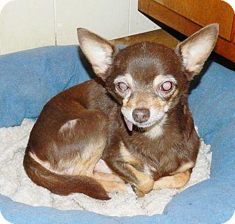 Chihuahua Dog for adoption in Umatilla, Florida - Pepper