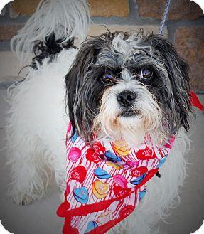 Maltese Mix Dog for adoption in Artesia, New Mexico - Jazz