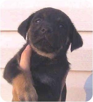 Rottweiler/Labrador Retriever Mix Puppy for adoption in Vine Grove, Kentucky - Fiona