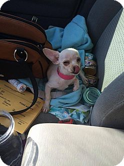 Chihuahua Puppy for adoption in Arlington/Ft Worth, Texas - Baby