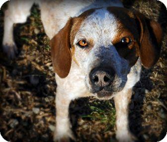 Beagle/Cattle Dog Mix Dog for adoption in Orland, California - BELINDA