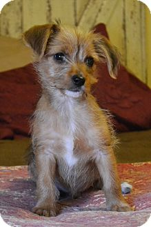 Cairn Terrier/Wirehaired Fox Terrier Mix Puppy for adoption in Bedminster, New Jersey - Hawk