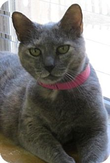 Domestic Shorthair Cat for adoption in Aiken, South Carolina - MONICA