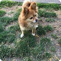 Adopt A Pet :: Nacho - Tumwater, WA