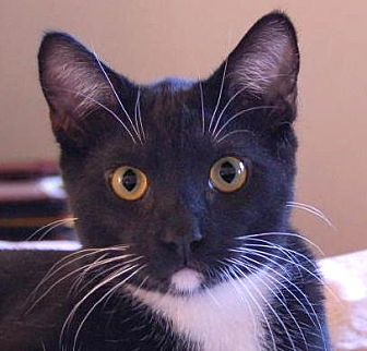 Domestic Shorthair Cat for adoption in Sherman Oaks, California - Crosby