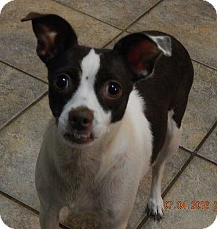 Rat Terrier/Pug Mix Dog for adoption in Niagara Falls, New York - Coco(13 lb) AWESOME Girl!