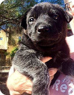 Labrador Retriever/Australian Cattle Dog Mix Puppy for adoption in Cave Creek, Arizona - Rhapsody