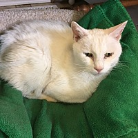 Manx Cat for adoption in Stevensville, Maryland - LoveBug