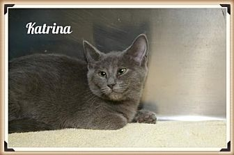 Russian Blue Cat for adoption in Island Heights, New Jersey - Katarina