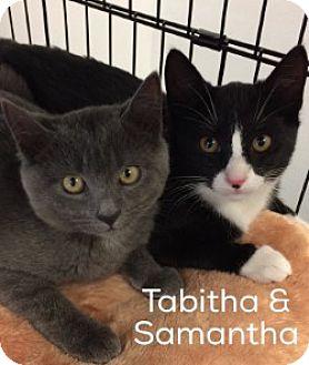 Domestic Shorthair Kitten for adoption in Great Neck, New York - Samantha