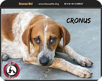 Australian Cattle Dog Mix Puppy for adoption in Olympia, Washington - Cronus