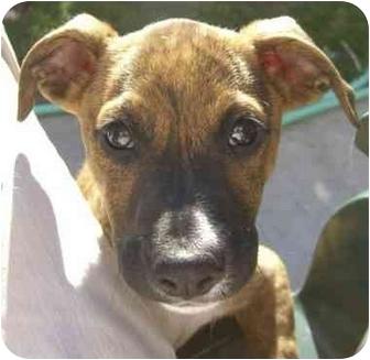 American Staffordshire Terrier/Basset Hound Mix Puppy for adoption in Rolling Hills Estates, California - Tupieee