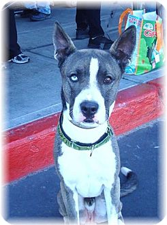 Great Dane/Husky Mix Dog for adoption in Las Vegas, Nevada - Andy