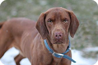 Vizsla/Hound (Unknown Type) Mix Dog for adoption in Midland, Michigan - Filbert