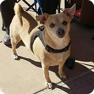 Chihuahua Mix Dog for adoption in San Diego, California - Dove