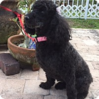Adopt A Pet :: Tootles - Davie, FL
