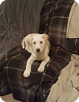 Golden Retriever/Border Collie Mix Puppy for adoption in Greenville, North Carolina - Toby
