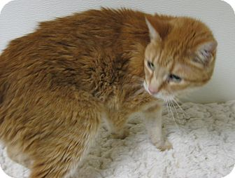 Domestic Shorthair Cat for adoption in Gary, Indiana - Chuck