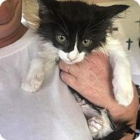Adopt A Pet :: Tigger - Lancaster, CA